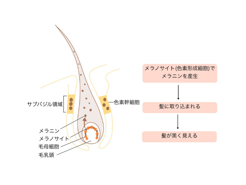 白髪の原因と発生を解説する図